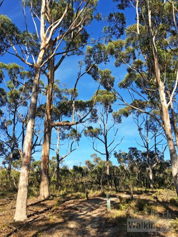 A stand of stringbark trees on the Stringybark Hike