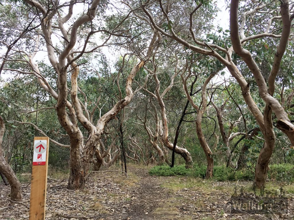 Walking along the Heysen Trail on the Myrtaceae Hike in Kyeema Conservation Park