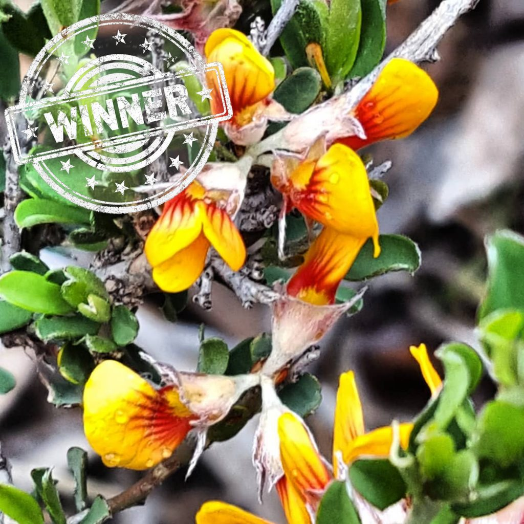 Instagram user muddy_pies has won this week's wildflower walk photo competition with her photo of the Twiggy Bush-pea wildflower seen on the one of the Wildflower Wander in Anstey Hill Recreation Park.