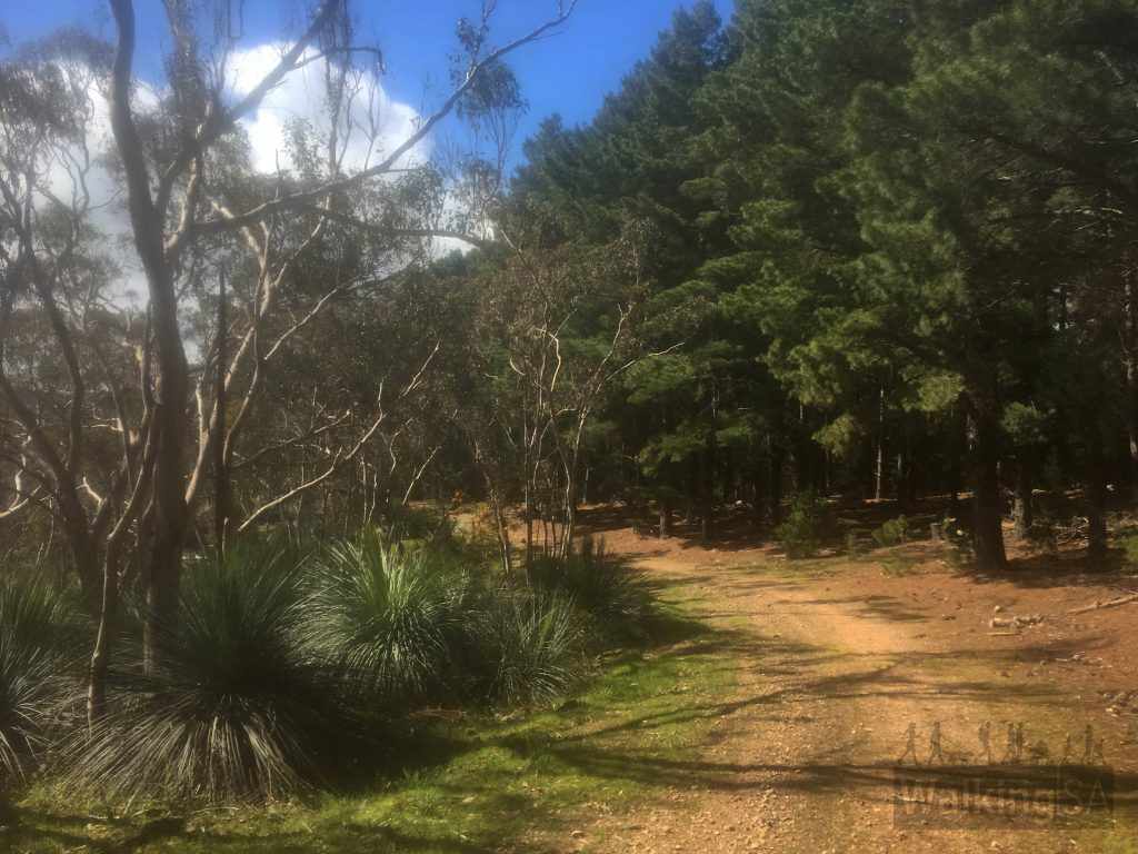 The forestry tracks on the Mt Hayfield Hike follow the boundary betwen native vegetation and the pine forest