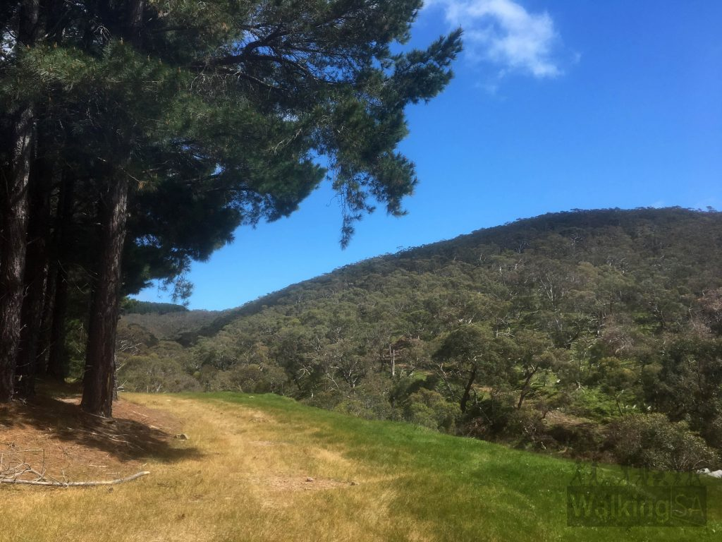 Walking alongside the pine forest on the Mt Hayfield Hike