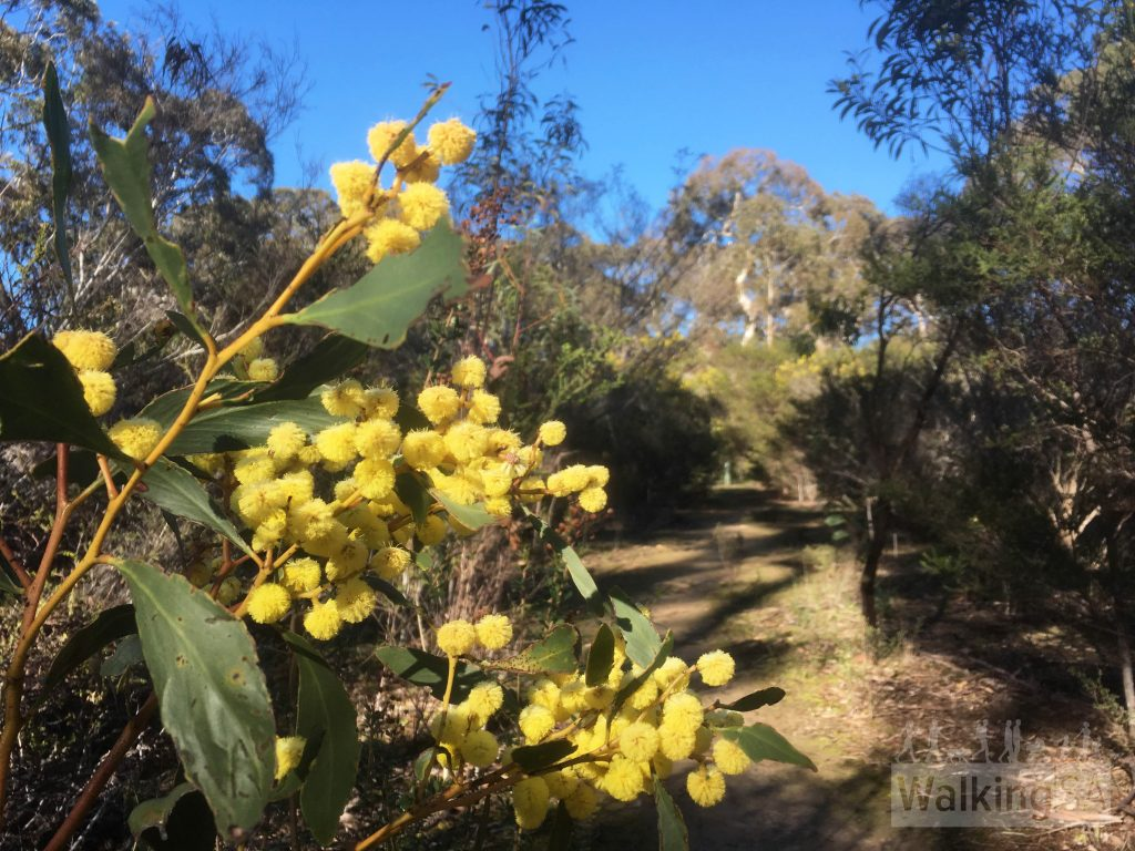 Walking in Scott Conservation Park is a great place to spot wildflowers