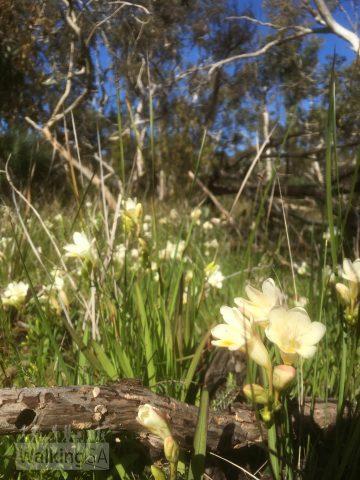 Wildflowers in Nixon-Skinner Conservation Park