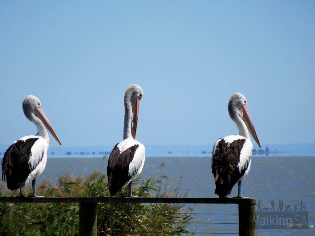 Pelicans along the Pelican Path
