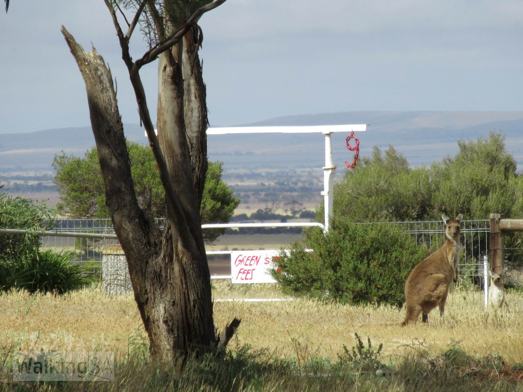 Kangaroos on the Lomandra Walking Trail at Blyth Golf Course