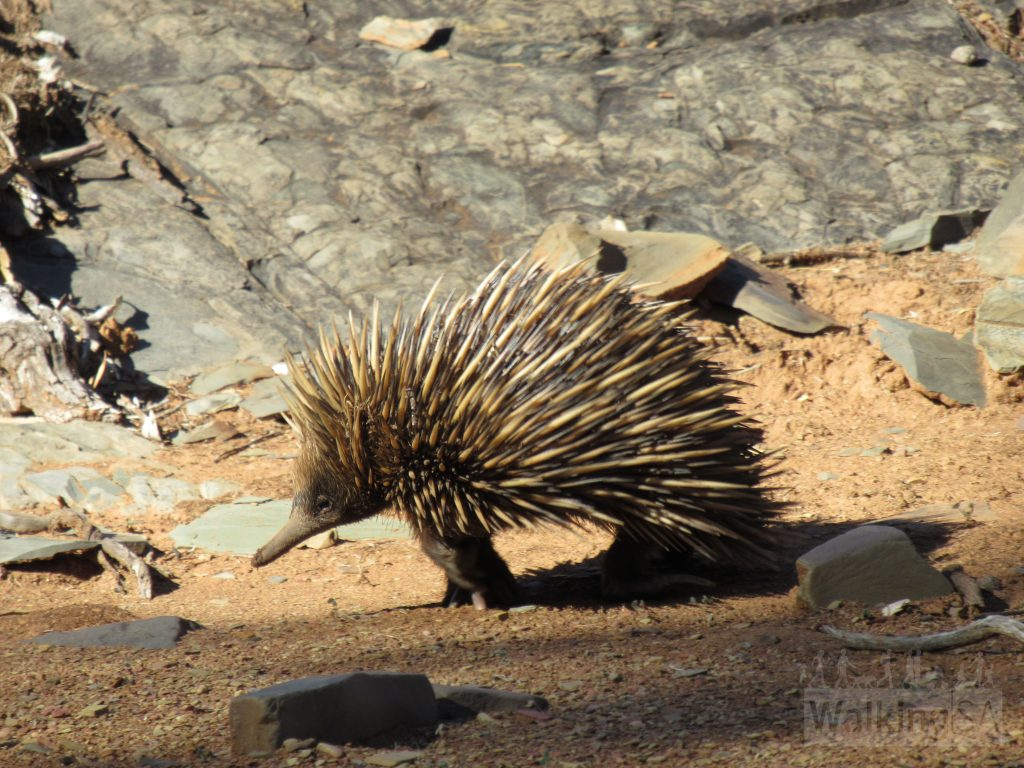 Keep a watch out for echidnas foraging in the creek bed at the other end of the gorge.