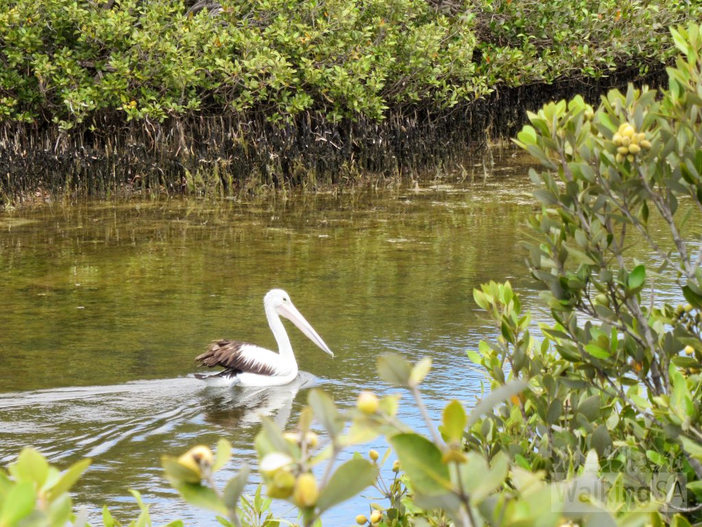 Pelican in the Tumby Bay mangroves