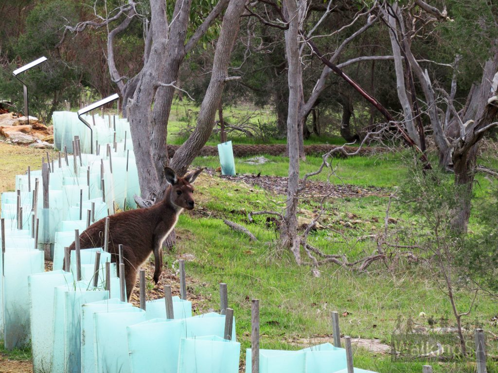Kangaroo on the trail