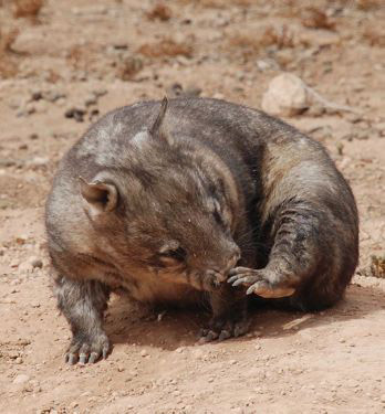 A Southern Hairy-nosed Wombat at Moorunde