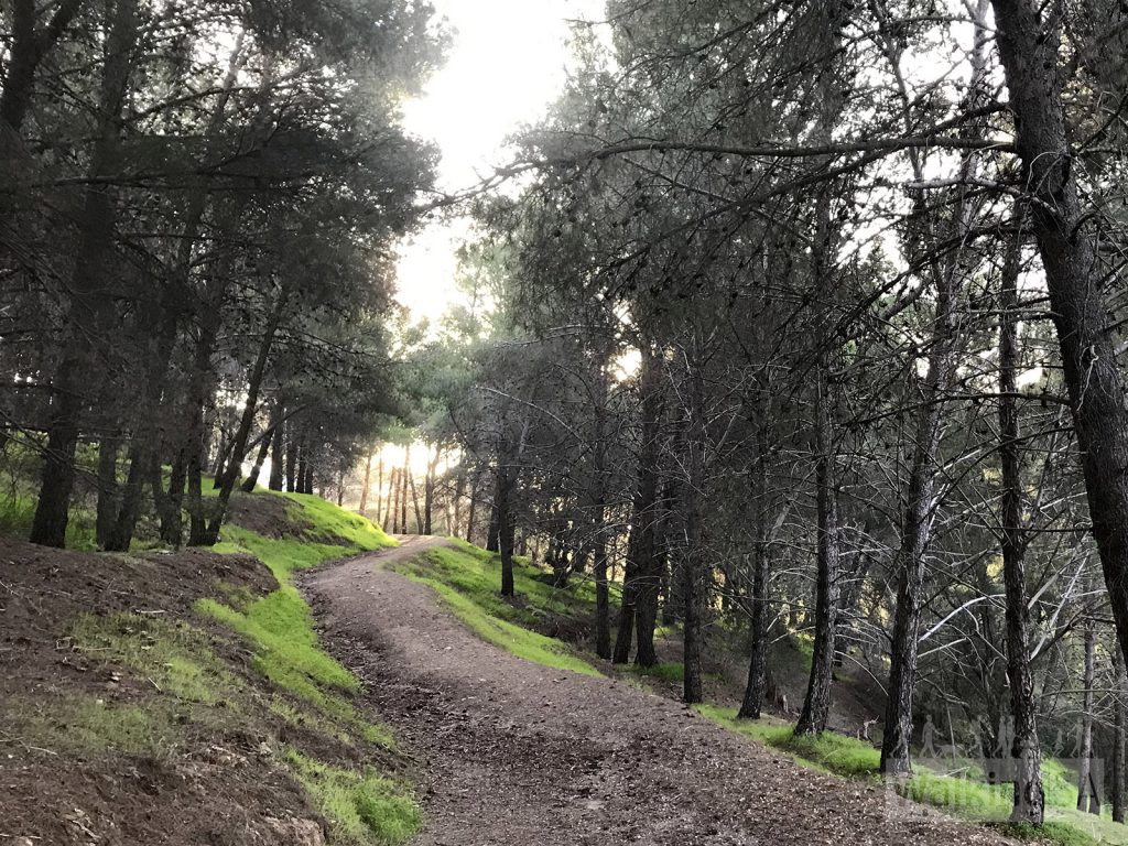 The Loop Trail meanders through scrub, as well as pine forest like this