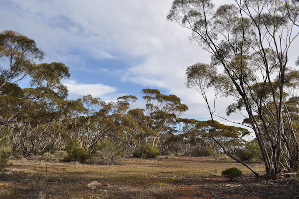 The mallee country of Moorunde Wildlife Reserve