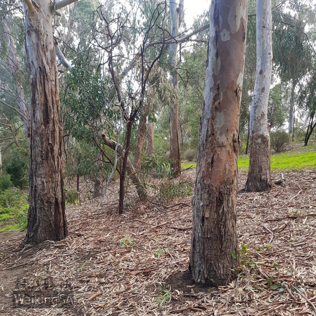 Walk through the gum trees along the trail