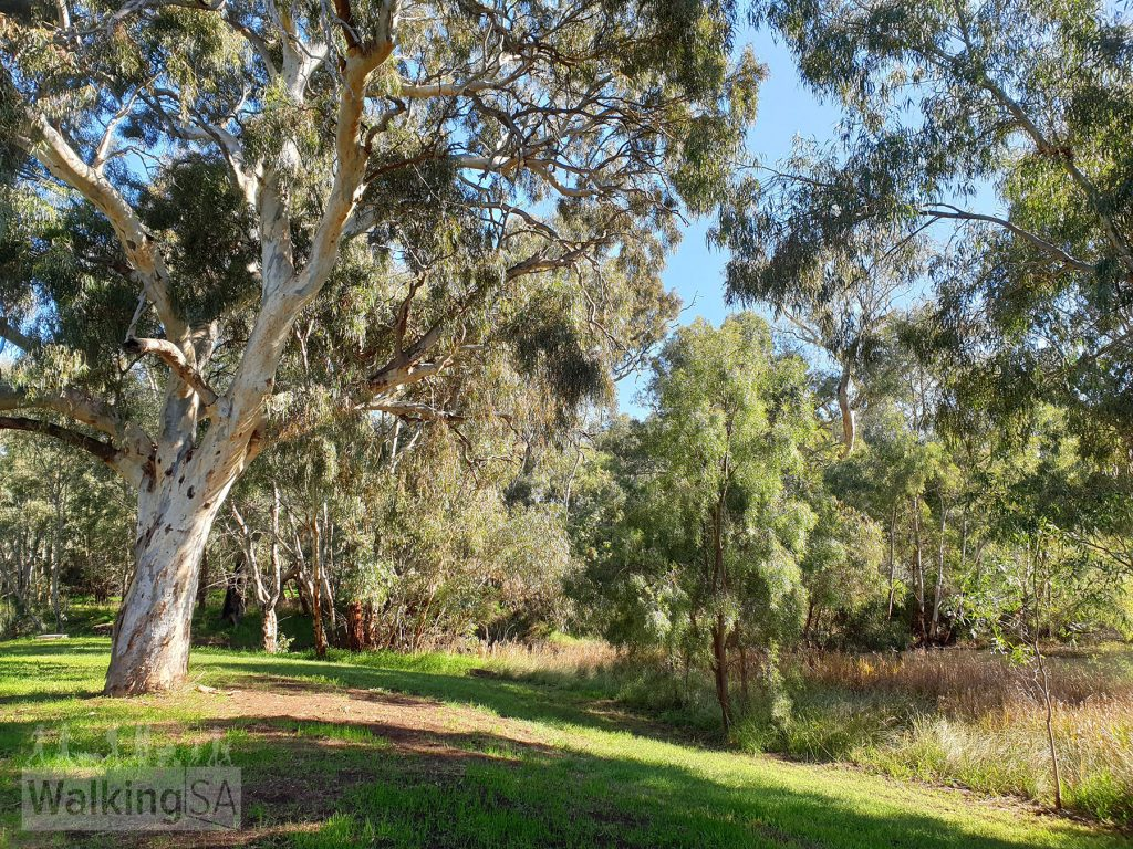 The loop of Little Para Wetland and Whites Road Wetland is a great place for a walk, with talls gums, the river, wetlands and birdlife