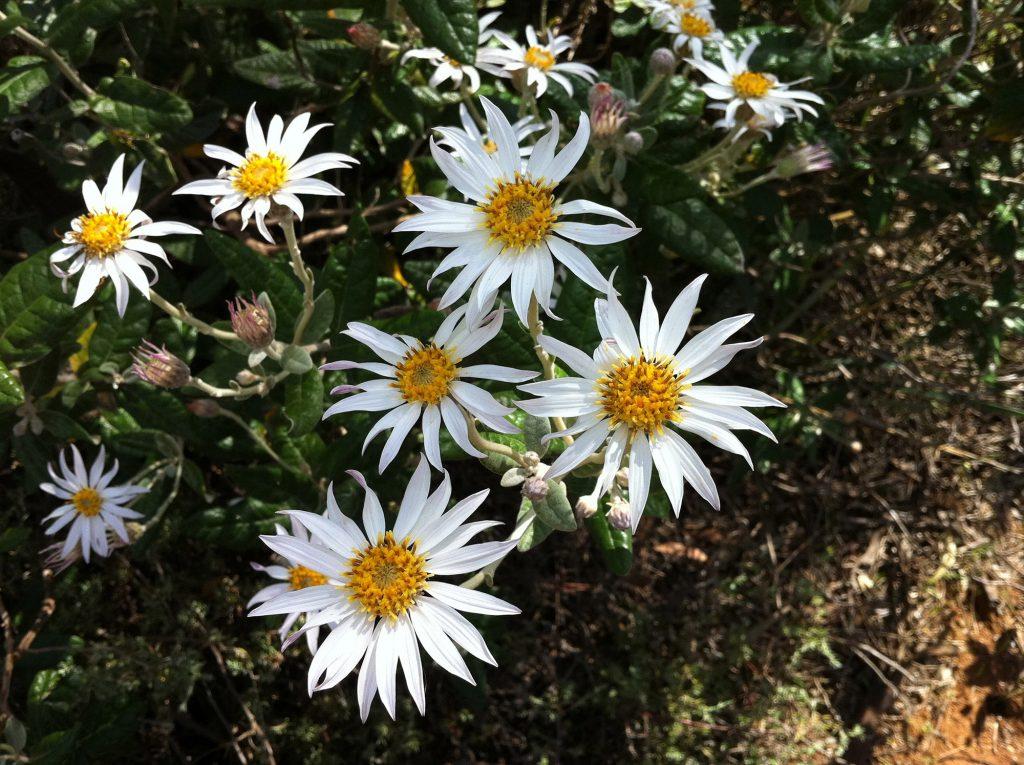 Flowers of the Silver Daisy Bush, <em>olearia pannosa var pannosa</em>