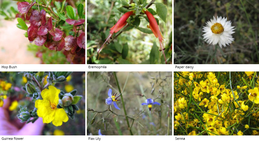 Some flowers that can be found in TP Bellchambers Reserve: Hop Bush, Eremophila, Paper daisy, Guinea flower, Flax Lily, Senna