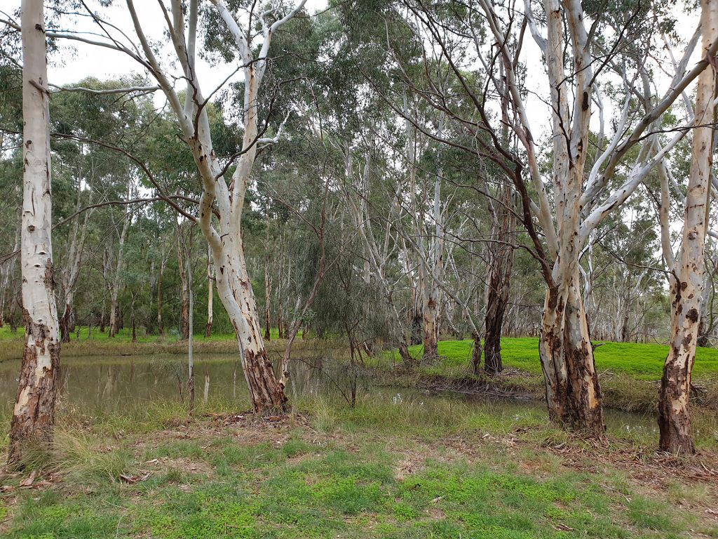 The Kaurna Park Wetlands are a creek system of shallow billabongs surrounded by eucalypts