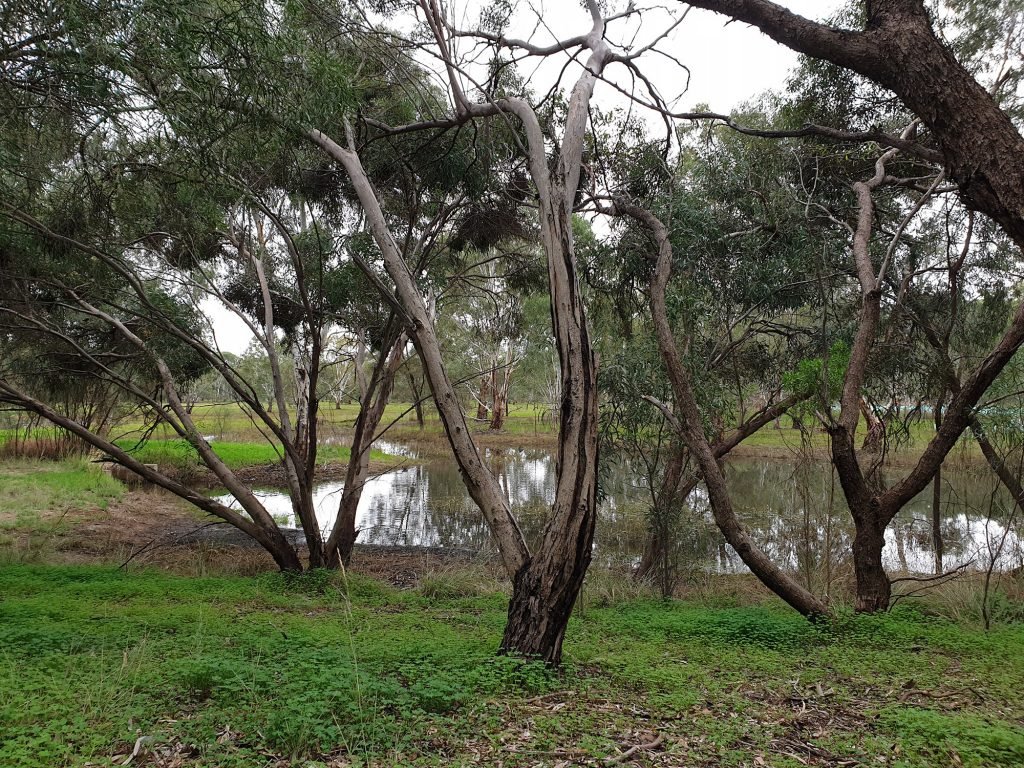 The Kaurna Park Wetlands is a creek system of shallow billabongs, mimicing floodplains found along the Gawler River