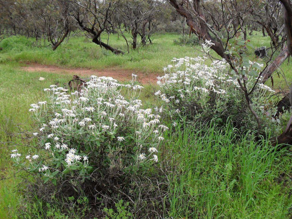 The Silver Daisy Bush <em>olearia pannosa var pannosa</em>