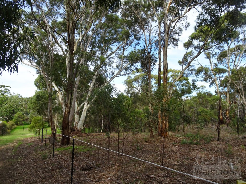 If walking the southern loop, or full loop of both parks, as you return south along the eastern boundary you follow this section along the fence, with views into the blue gum vegetation