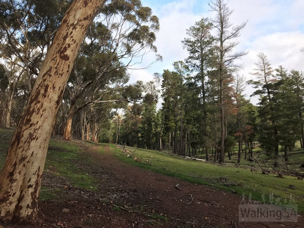 Walking through the forests on the Conservator's Trail. This trail follows wide fire track and wide forest tracks.