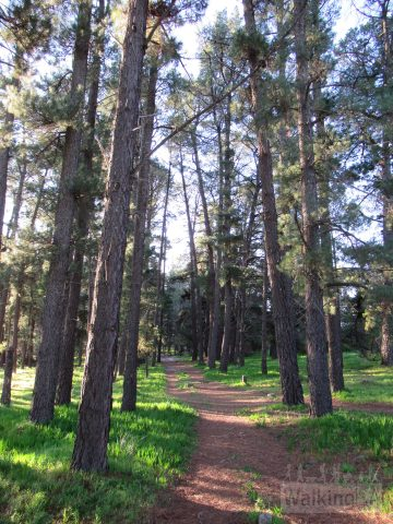 Walking through the pine trees in the northern section of Minkarra Park