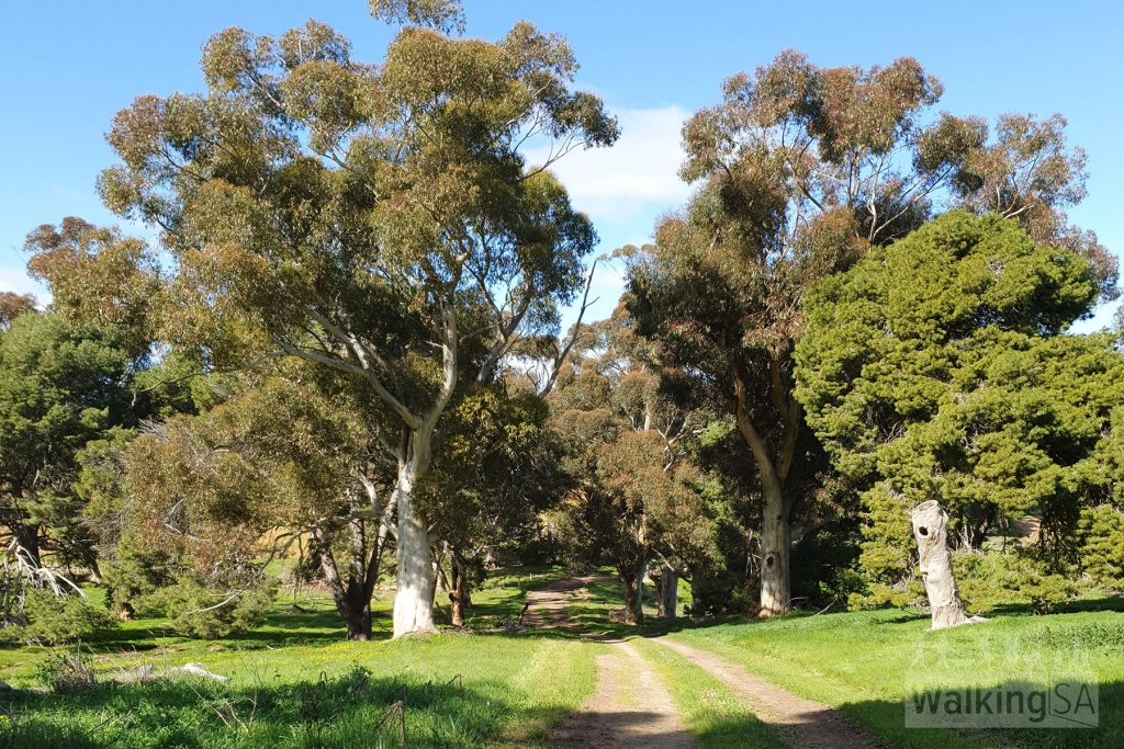 Walking amongst red gums along the vehicle tracks of the Glenthorne Loop Trail
