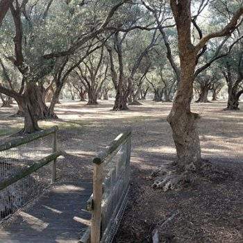 Guided Walk through the ancient Olive Groves at Gilberton (Parks 7 and 8)