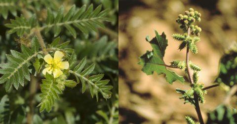 Noogoora burr weed, and caltrop weed