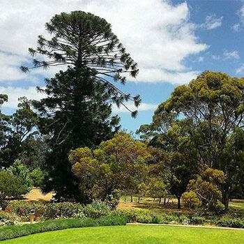 Aromatic Trees, Waite Arboretum – Nature Festival